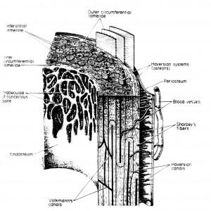 Images of Periosteum