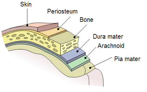 periosteum - definition, function, location and pictures, Human Body