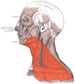 Images of Platysma