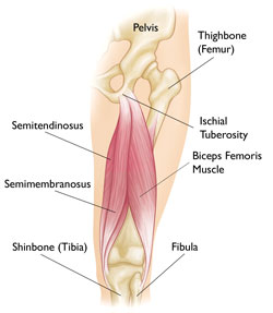 Ischial tuberosity - Pictures, Location, Function, Anatomy ...