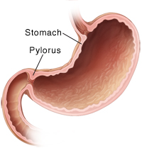 pylorus - definition, location, function and pictures, Human Body