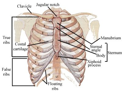 Picture of Xiphoid process