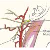 Sternocleidomastoid muscle location