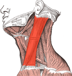 Image of Sternocleidomastoid muscle