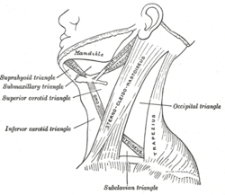 Sternocleidomastoid muscle Picture
