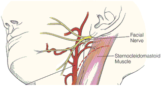Sternocleidomastoid muscle location