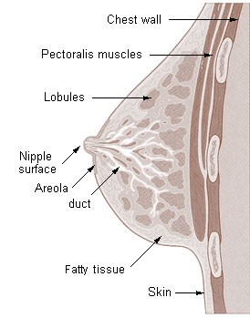 picture of mammary glands
