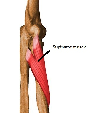 Picture of Supinator muscle