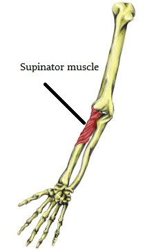 Supinator muscle location