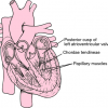 Chordae tendineae Location
