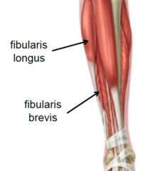 Peroneus (Fibularis) longus - Location, Origin, Insertion ...