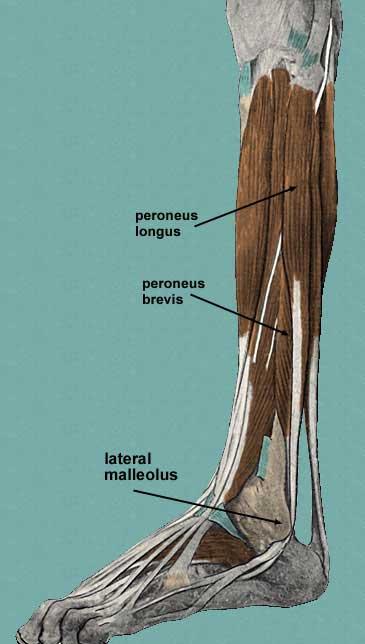Peroneus Fibularis Longus Location Origin Insertion Function