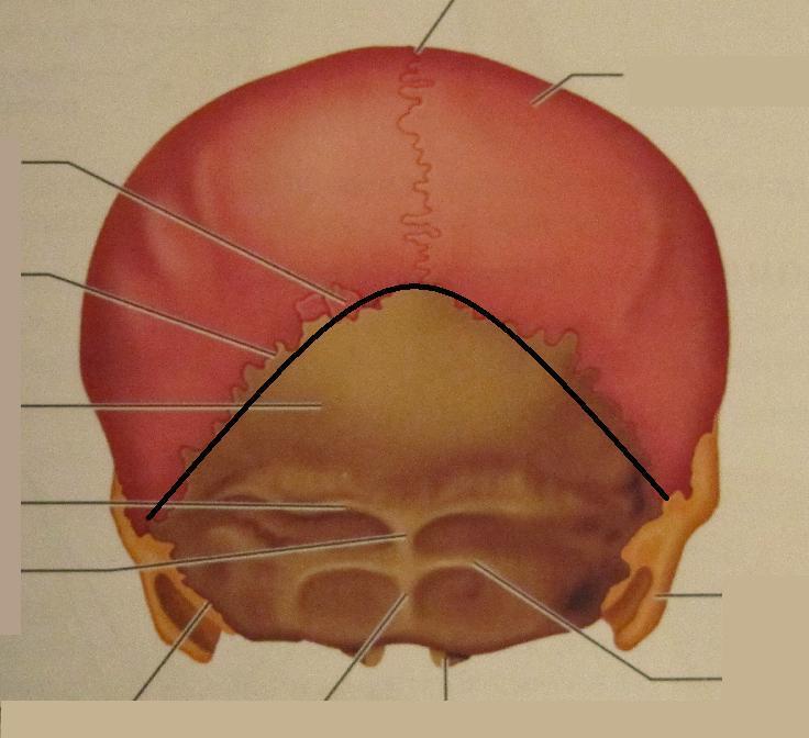 Lambdoid Suture