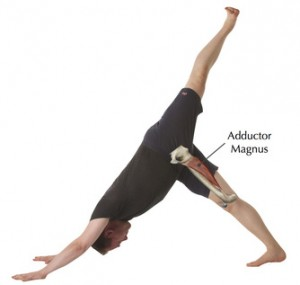 Image of Adductor Magnus