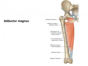 Location of Adductor Magnus