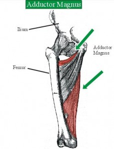 Photo of Adductor Magnus