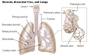 Bronchioles Images