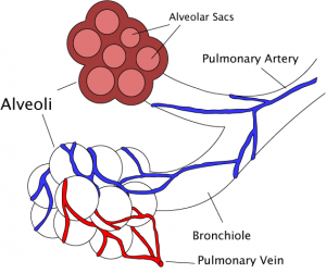 Bronchioles Location