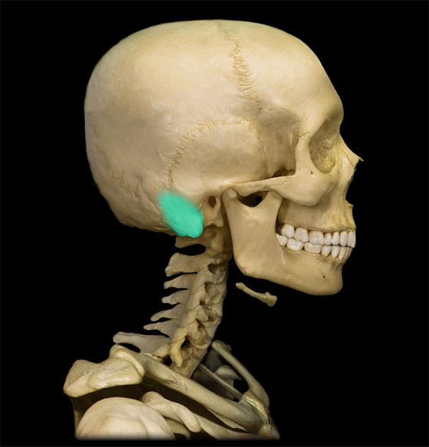 Mastoid Process - Location, Function and Pictures