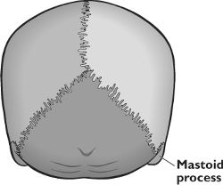 Picture of Mastoid Process