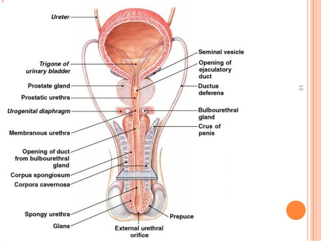 bulbourethral gland - function, location, pictures and faqs, Human Body