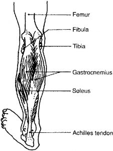 Gastrocnemius Location