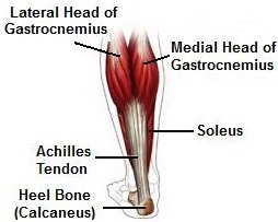 Picture of Gastrocnemius