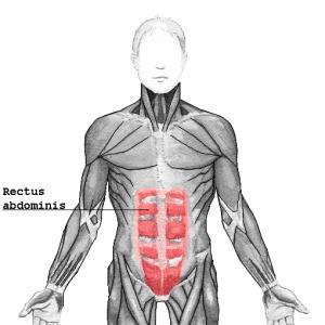 Image of Rectus Abdominis