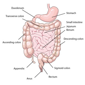 how long is the sigmoid colon