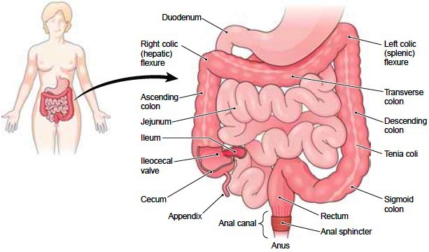Cecum Definition Function Location And Related Conditions