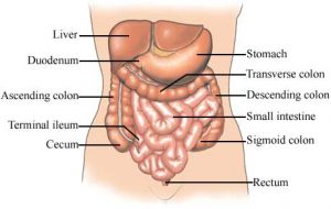Pictures of Cecum