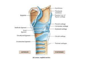 Corniculate Cartilage Location