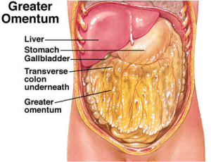 Picture of Greater Omentum