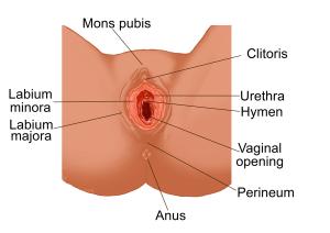 Labia Minora Image