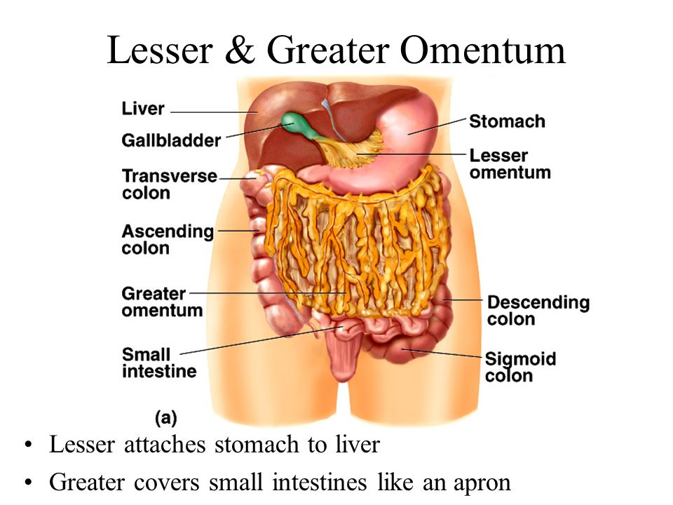 Greater Omentum Function Location Faqs And Related Conditions