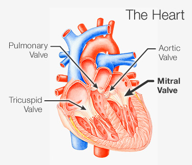 Mitral Valve Location Function And Related Conditions