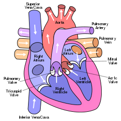 Mitral Valve Location