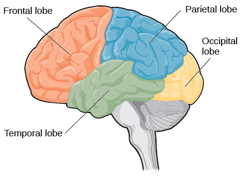 Parietal Lobe Function Location Structure And Related Conditions