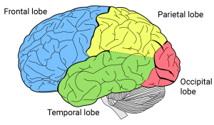 Parietal Lobe Location