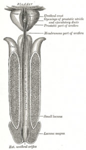 Picture of Seminal colliculus