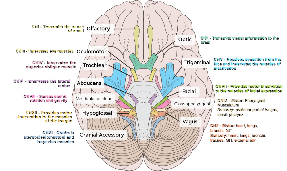 Cranial Nerves - Function, Table, Anatomy and FAQs