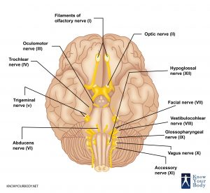 Cranial Nerves Location
