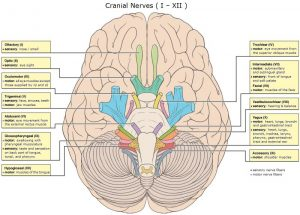 Picture of Cranial Nerves