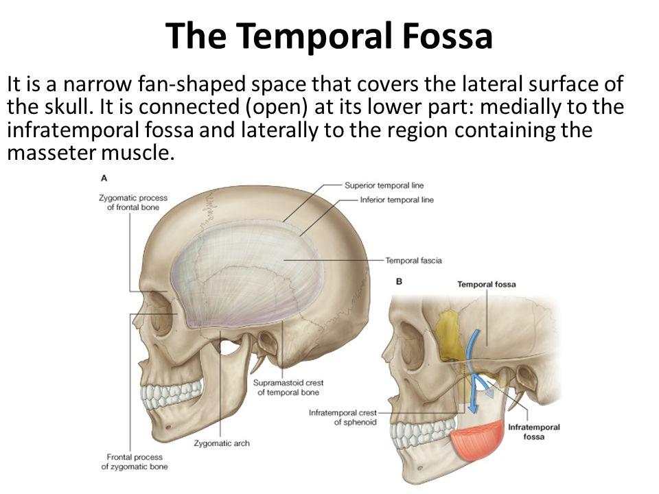 Temporal Fossa