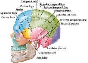 Picture of Temporal Fossa