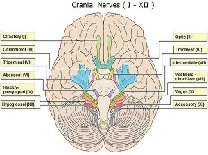 Location of Trochlear Nerve