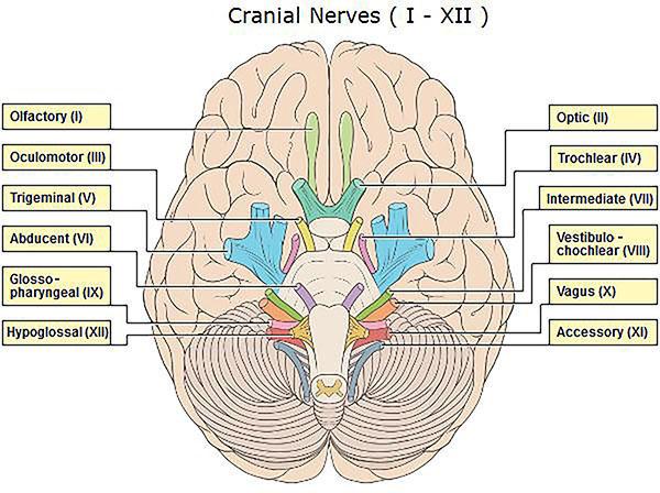Trochlear nerve cranial nerve 4 for 12 paredes craneales