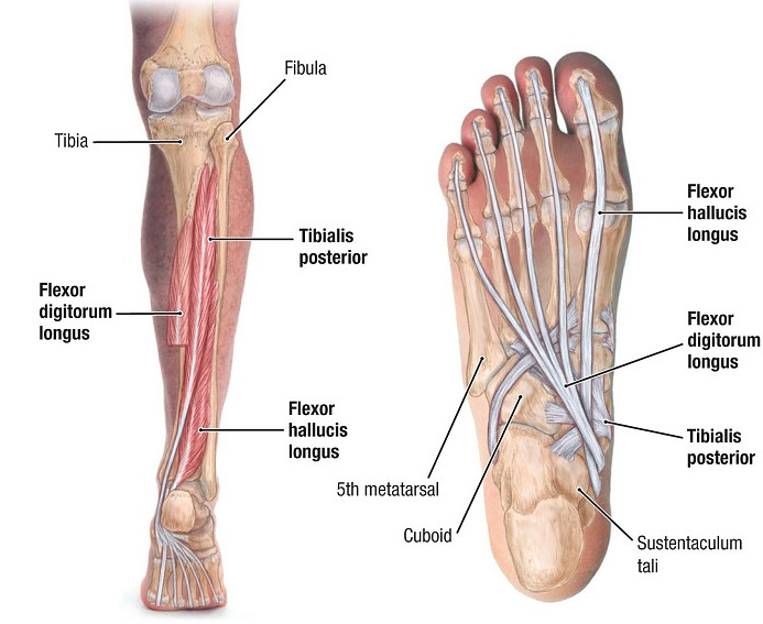 Tibialis Posterior - Origin, Insertion, Anatomy and Function