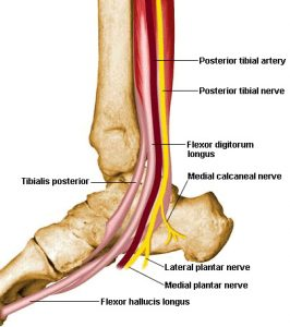 Picture of Tibialis Posterior