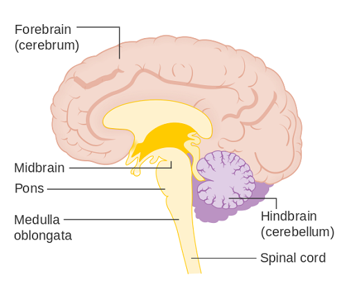 Medulla Oblongata - Function, Location, Anatomy and Related Condition